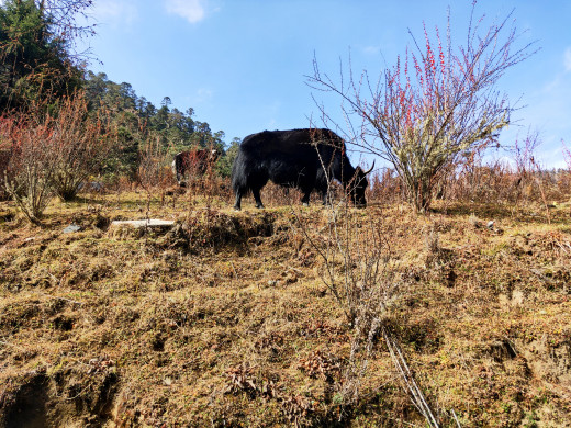 Yaks grazing in the forest