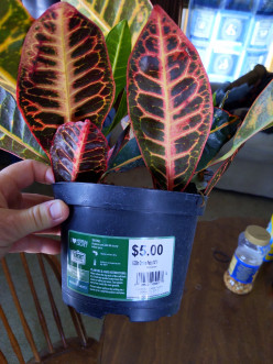 House Plant Transplant from Pot to Pot