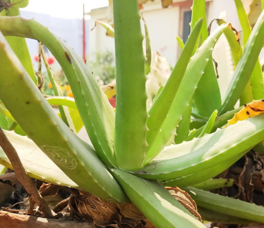 Aloe Vera Fresh Leaves