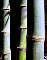 Bamboo stems