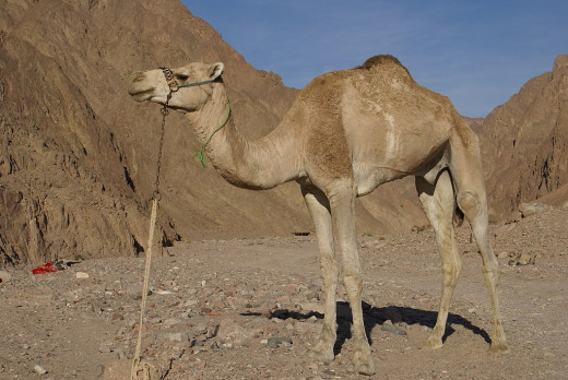 The dromedary camel is the classic beast of burden, associated with the desert caravans of the Middle East. The animal is also the main host for Middle Eastern Respiratory Syndrome (MERS)