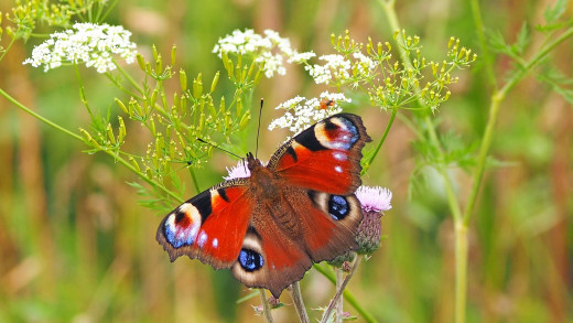 Peacock Butterfly: Image by kie-ker from Pixabay