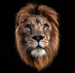 THE TAMED ROARING LION
