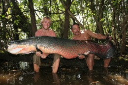 "Arapaima is the the world's largest freshwater fish and like Coelacanth they are dubbed as a ""living fossil."""