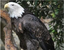 The ultimate predator the American Bald Eagle.