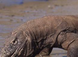 Komodo at Komodo National Park