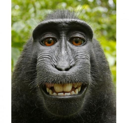 Selfie of female Macaca nigra (Celebes crested macaque) using photographer David Slater's camera.