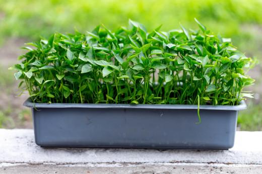 Chilli sprouts