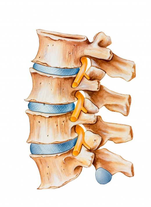 Intervertebral discs of the lumbar spine
