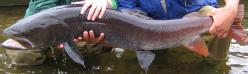 Mongolian Trout: The River Dragon