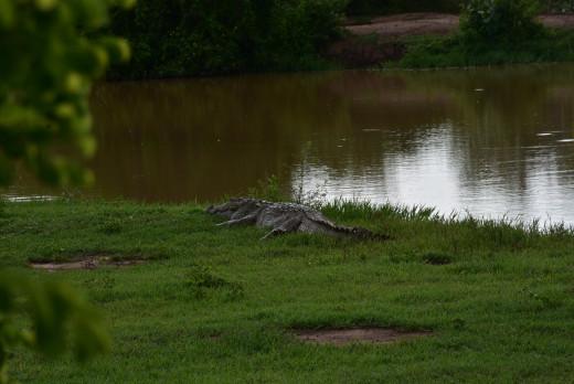 Gaint Crocodile