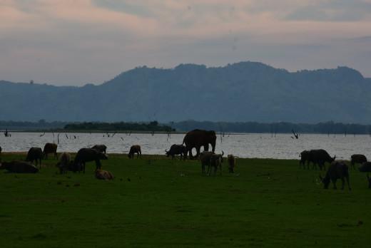 Animals Near Udawalawa Lake