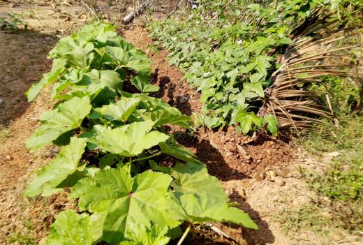Vegetable cultivation in home garden