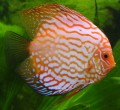 A simple guide to keeping Discus Fish