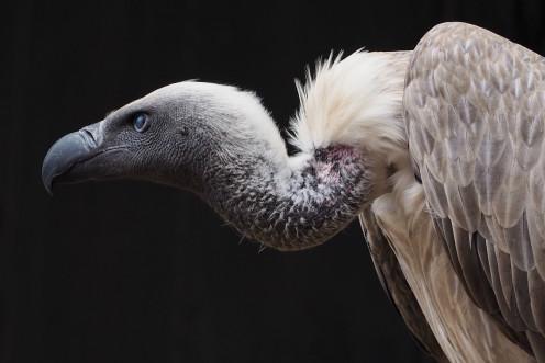 A vulture