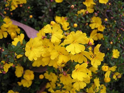 Hibbertria empetrifolia (Trailing Guinea Flower)