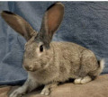 Should You Adopt or Buy a Rabbit?