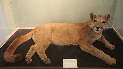 Britain's Mysterious Wild Big Cats; The Beast of Cumbria, a Quick Summary