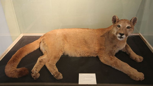 The captured puma now on display at a museum in Iverness.