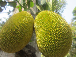 Jack Fruit: Food for Thought During a Pandemic