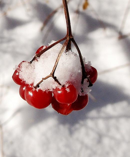 'Viburnum' American Cranberry  Berries
