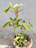 Treatment of Kidney Stone Using Natural Ayurvedic Remedies