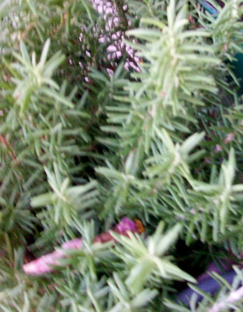 Rosemary growing in pots waiting for their daily dose of the sun.