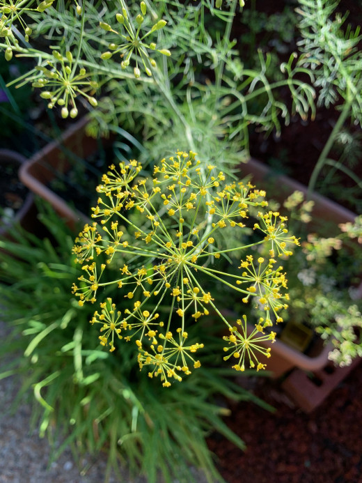 Dill head about to put forth seeds