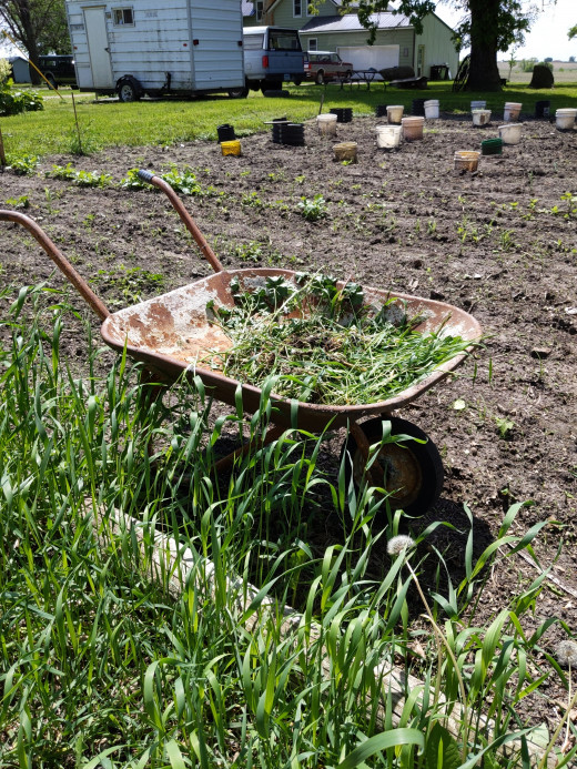 Put weeds into wheelbarrow for easy transport to compost heap
