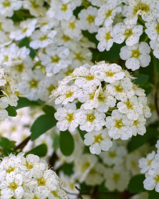 'Reeves Bridal' Spirea Shrub Flowers
