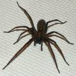 British giant house spider.  Speed and size is frightening, but quite harmless and can be handled.