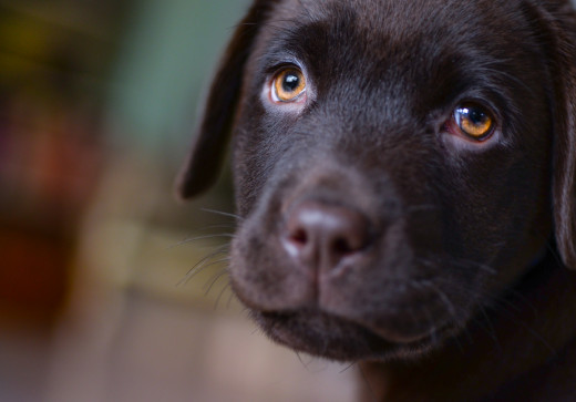 """Black Lab"" Puppy.  Pexels.com"