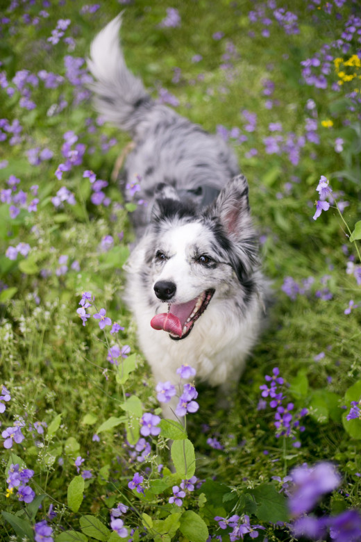 Dogs with white or merle coats can be more prone to hearing and vision problems