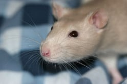 Tips to Care for Your Rats
