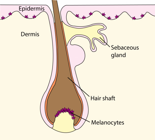 A hair follicle. Melanocytes give pigments to the hair.