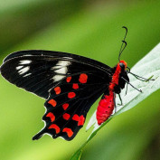 papillon rouge profile image