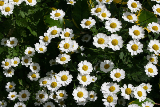 Feverfew is a member of the daisy family.