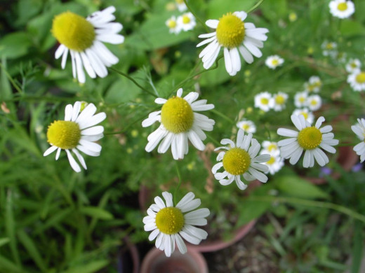 Chamomile is well known for its use as a soothing tea.