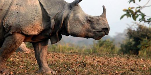 One-horned Rhino of Assam