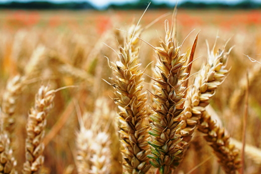 Close-up of wheat growing in the field