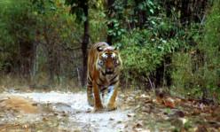 Me, the Tiger and Goddess Durga