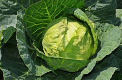 Know About the 10 Benefits of Eating Cabbage