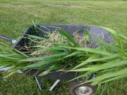 Weeds, mostly tall grass pulled out of strawberry planter