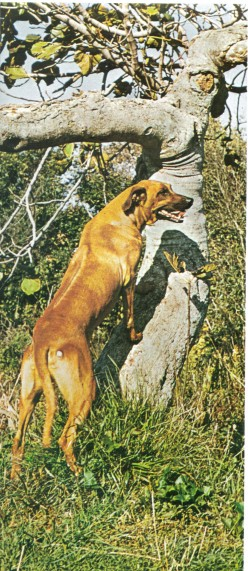 Rhodesian Ridgeback: - You Asked for it and now you Have It.