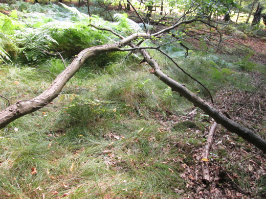Before the climb back to the bridle path there's this link-up with two branches on different trees. There's a meaning her somewhere...