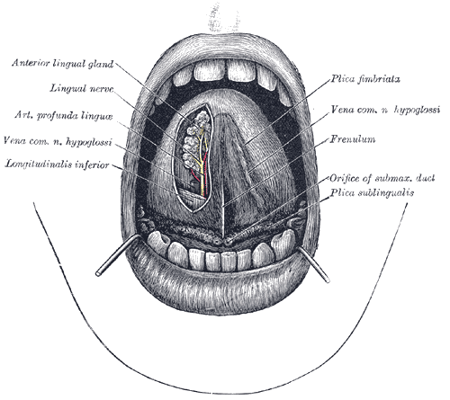 The anatomy of the human tongue