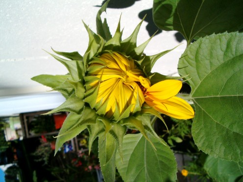 Sunflower beginning to open, photo