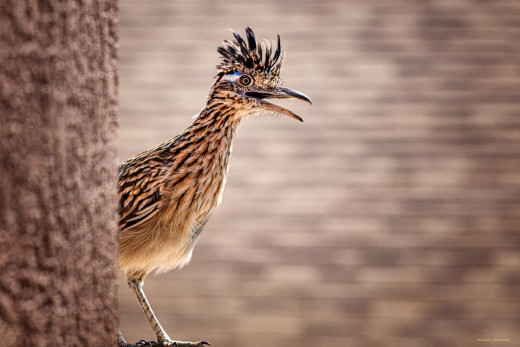 This roadrunner was sneaking around the back of our storage shed in an attempt to catch a bird.