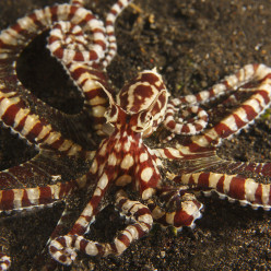 The Mimic Octopus, Master of Disguise
