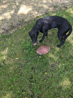 Teaching Labrador Retriever to Retrieve